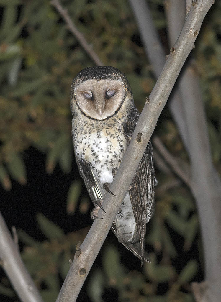 Masked Owl says goodnight