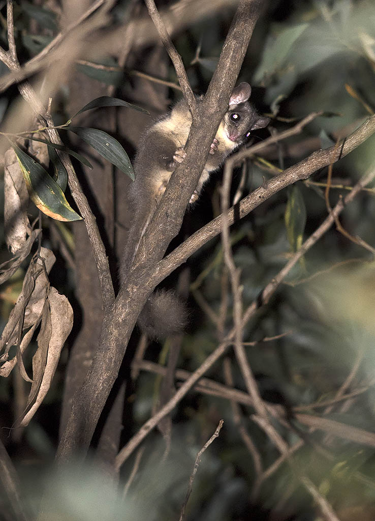 Leadbeater's Possum