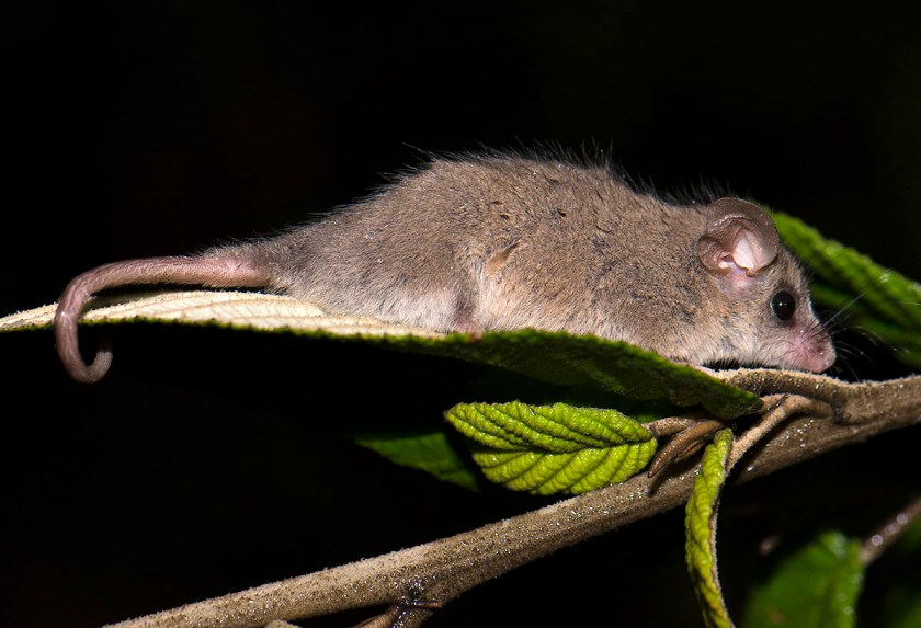 Little Pygmy Possum - Fortescue Bay