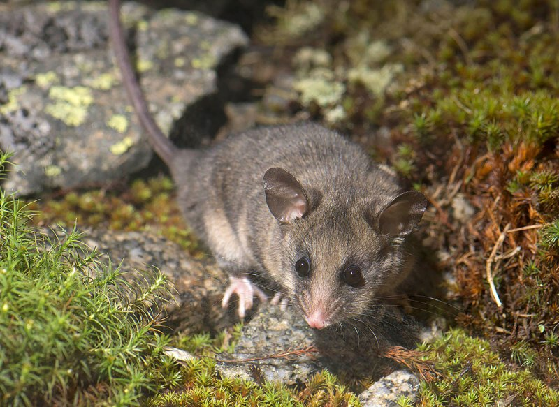 Mountain Pygmy-possum