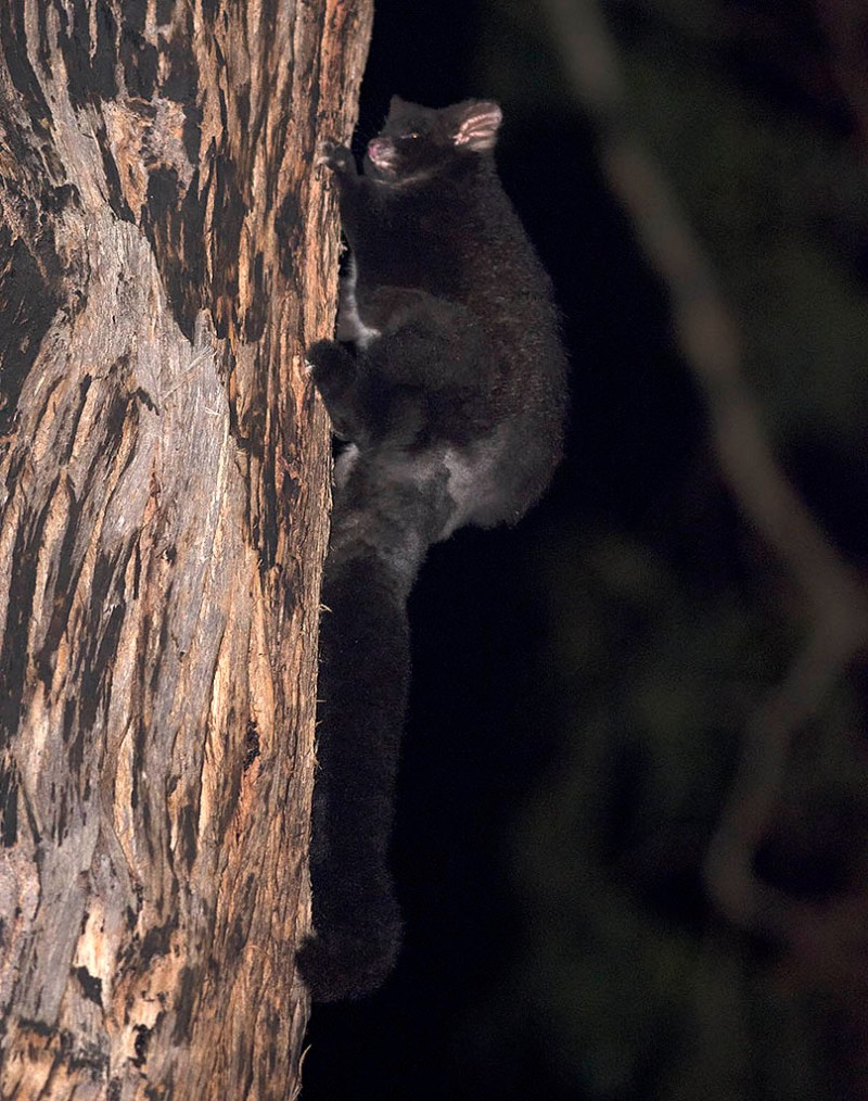 Greater Glider - Bunyip State Park