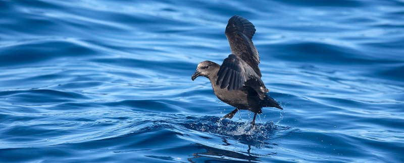 pelagic great-winged petrel
