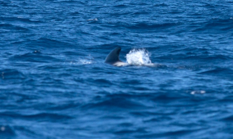 I could have had awesome pilot whale shots.....