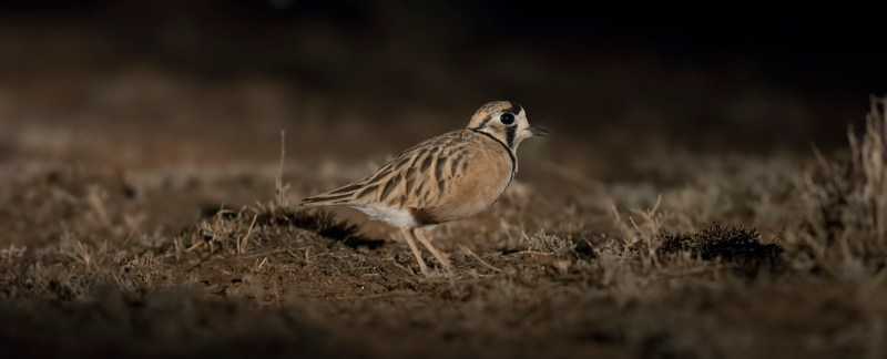 Inland dotterel - Deni area