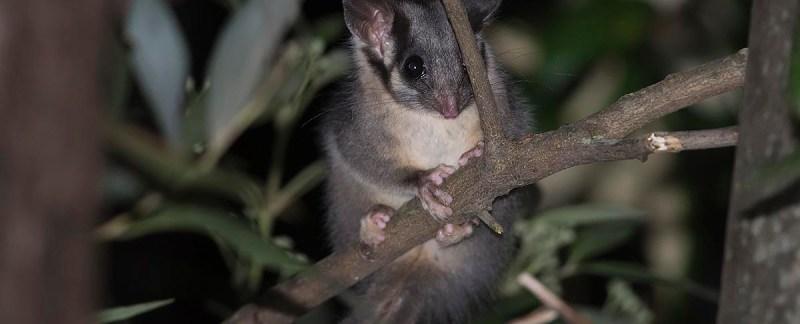 Leadbeater's Possum - Yarra State Forest