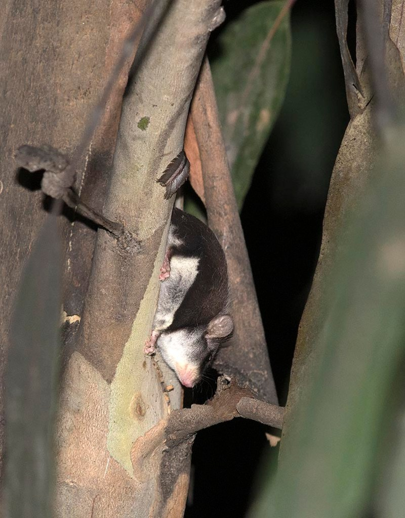 Narrow-toed Feather-tailed Glider - Yarra Ranges State Forest