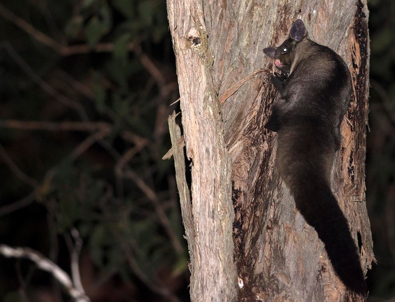 Yellow-bellied Glider came in to greet the Powerful Owl