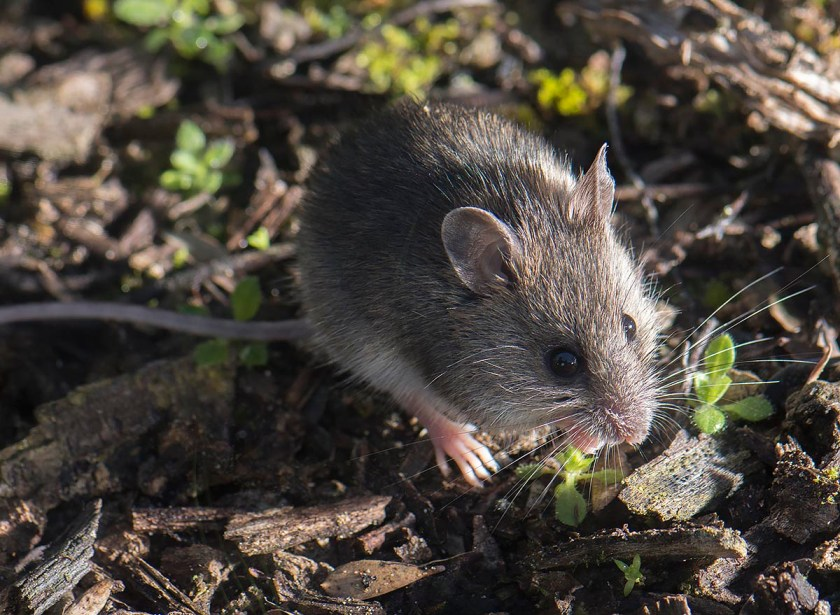 New Holland Mouse