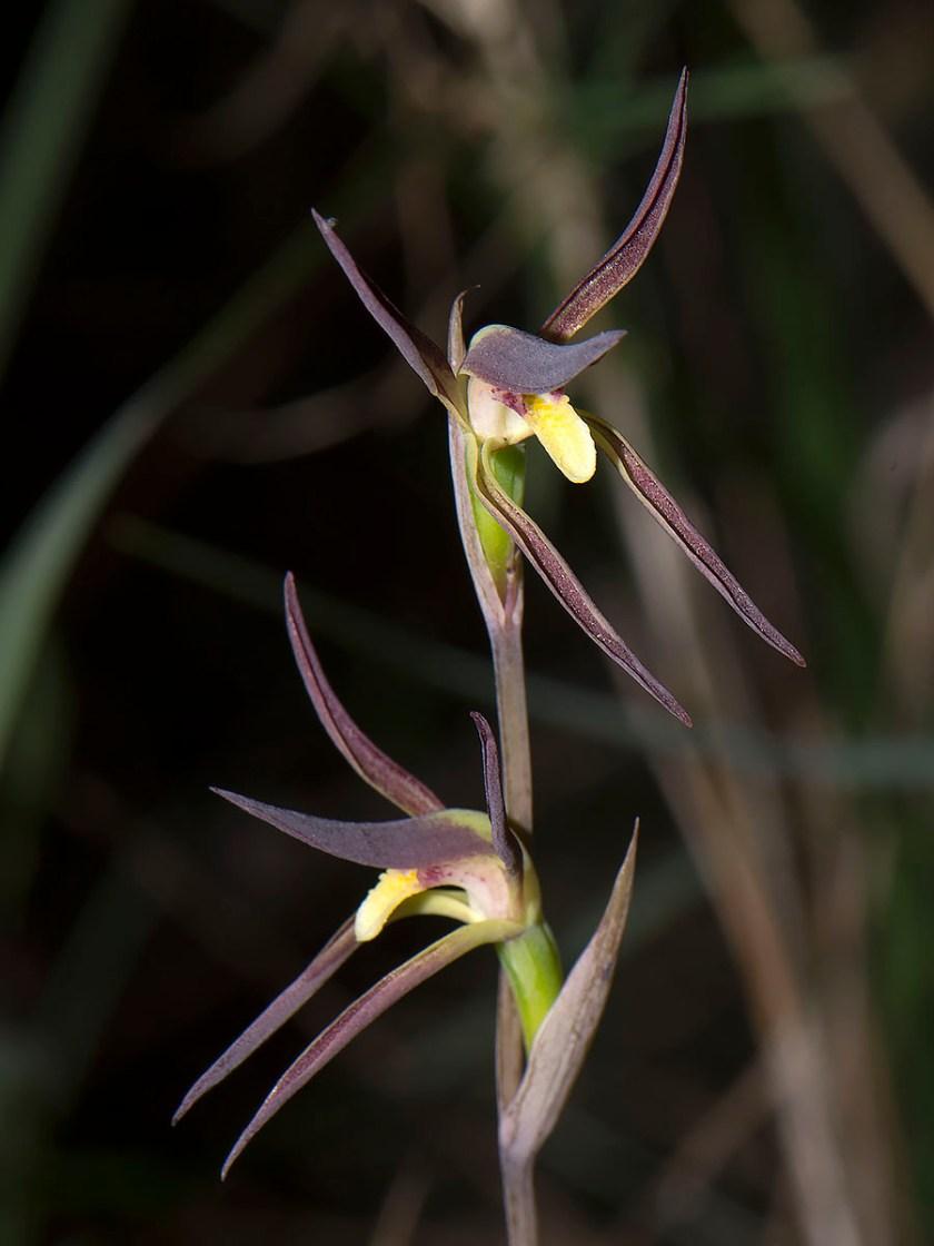 Lyperanthus suaveolens