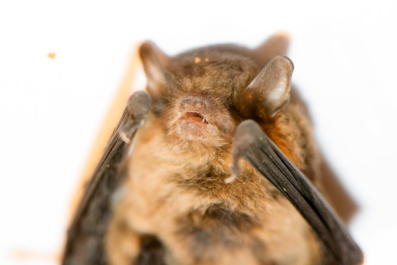 Large Forest bat