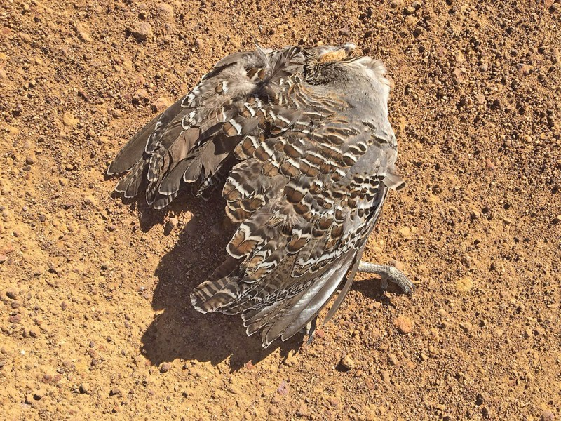 Road killed malleefowl