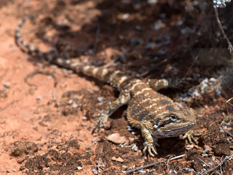 Nullarbor Bearded Dragon