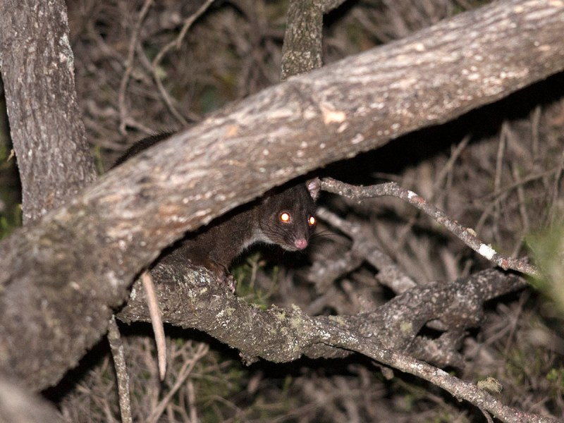Crappy shot of a Western Ring-tailed Possum - I need to go back!