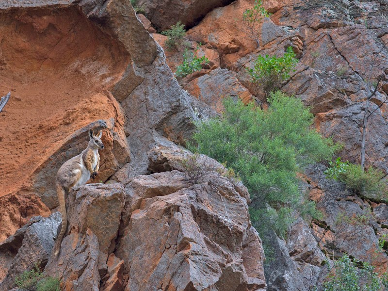 Yellow-footed rock-wallaby - Telowie Gorge