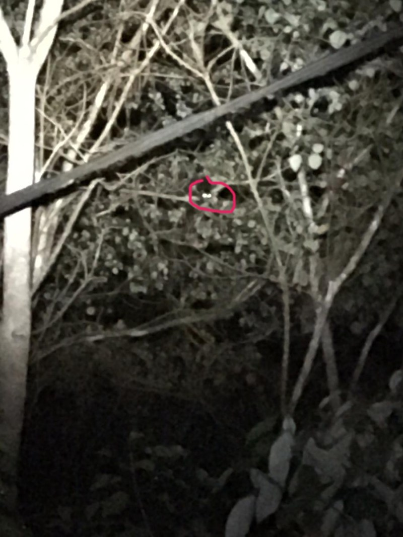 Herbert River Ring-tailed Possum..... Honest!!!