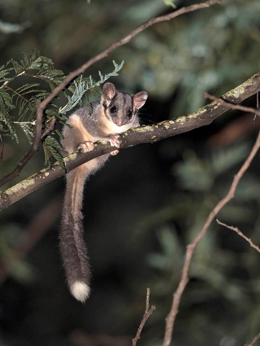 Leadbeater's Possum