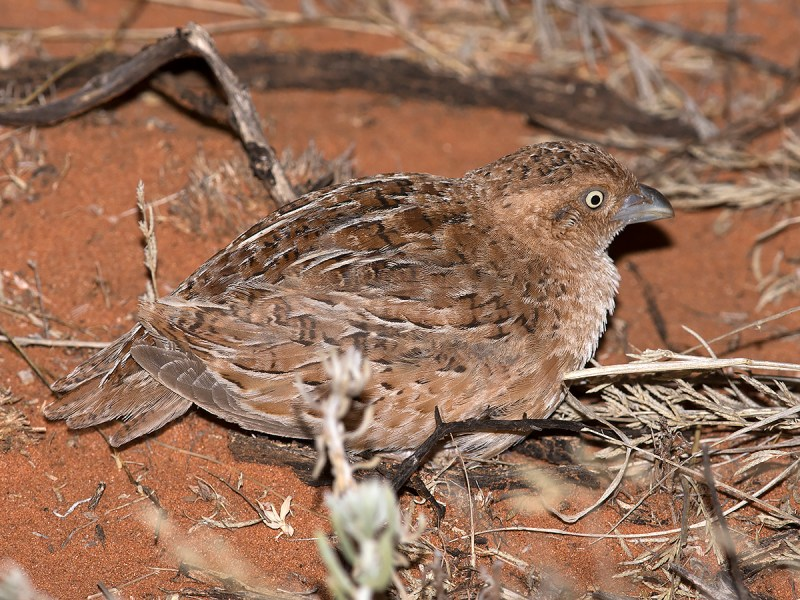 Little Button-quail - about the only bird pic I took all trip!