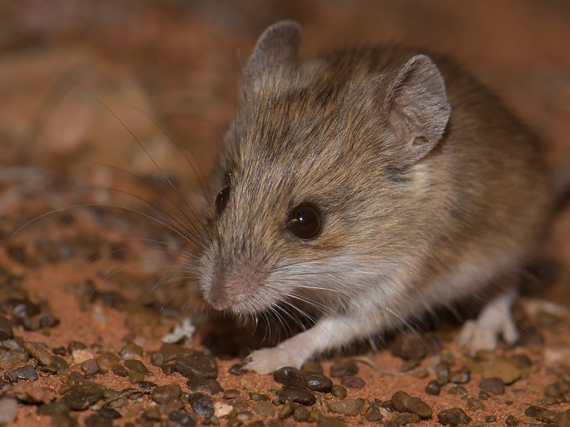 Sandy Inland Mouse