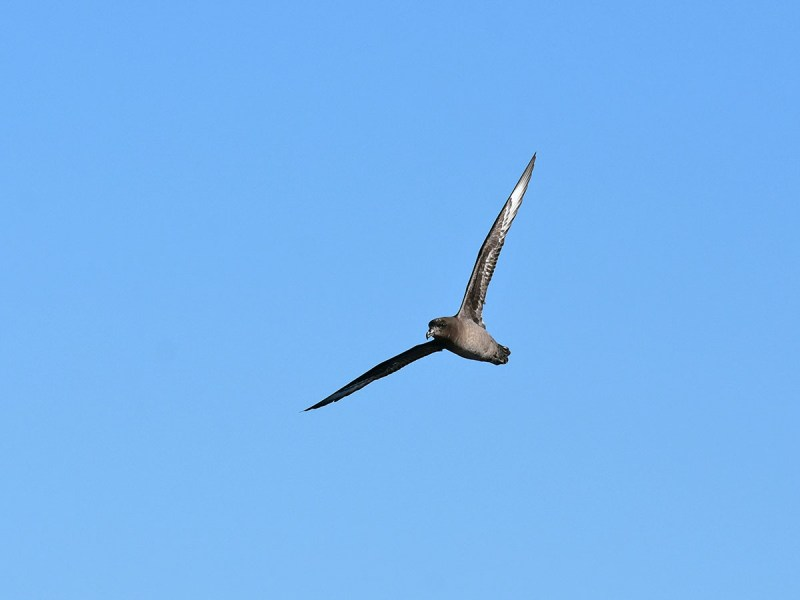 Providence Petrel - shit shot but finally have in pixels