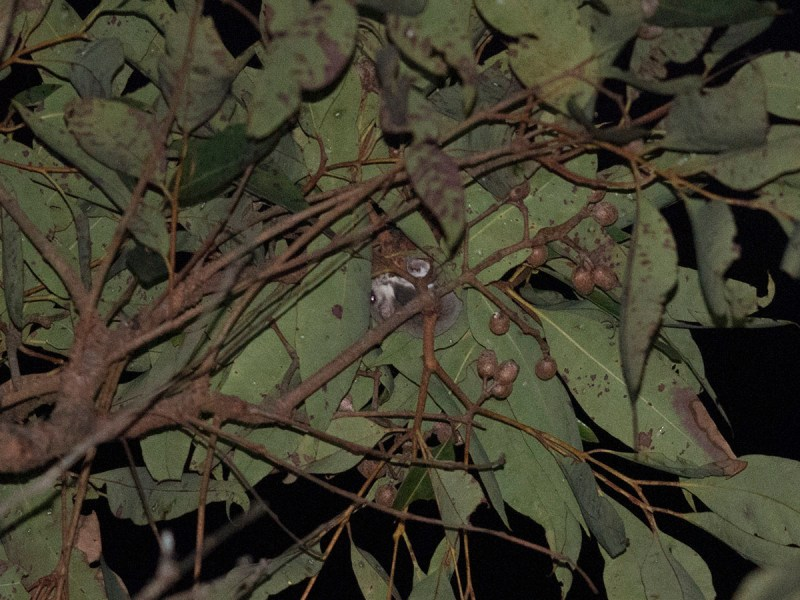 Broad-toed Feather-tailed Glider