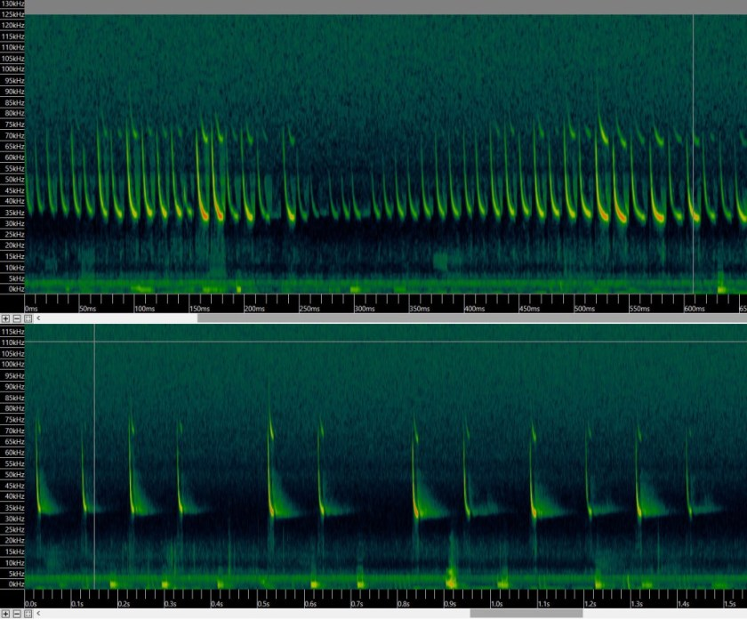 Eastern Falsistrellus - showing its distinctive frequency around 35 kHz