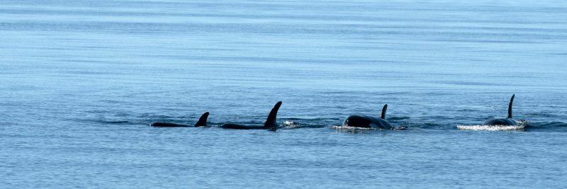 More orcas