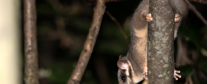 Leadbeater's Possum - Bunyip State Park