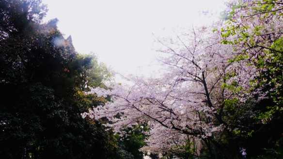 Wuhan reopened_Cherry blossoms in Wuhan, taken in 2019. Photo by Yushu Tian.