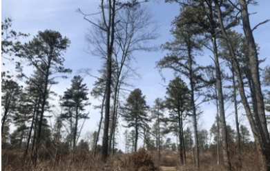 Pitch pines at the Great Dune Trailhead