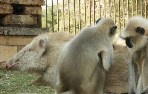 schweinaffen