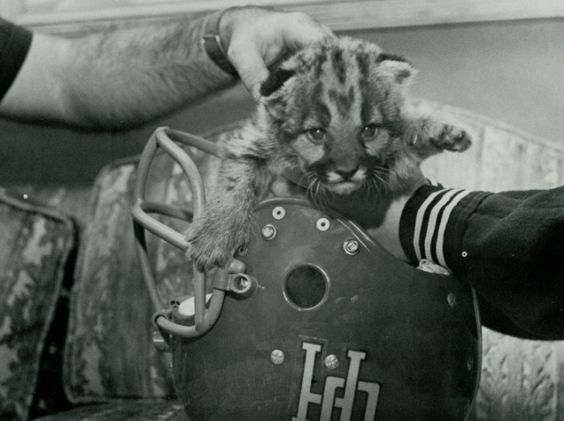 Baby Shasta in a UH football helmet