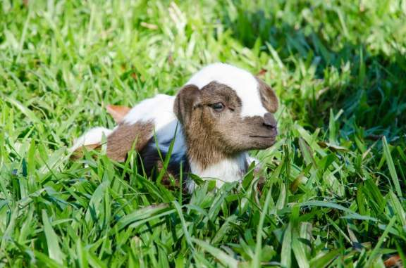 1 Day Old Goat