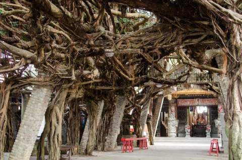 Temple Courtyard with Giant Ficus Tree