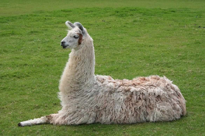 1920px-Llama_lying_down.jpg