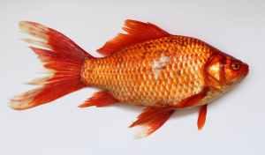 gåder for voksne fisk