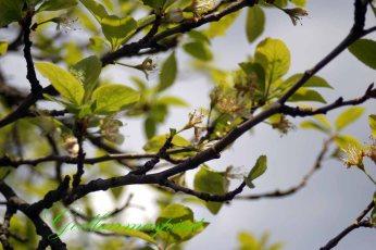 Plumblüte