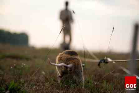 APOPO Hero Rats bomb detection training early morning at cleared field Siem Reap, Cambodia