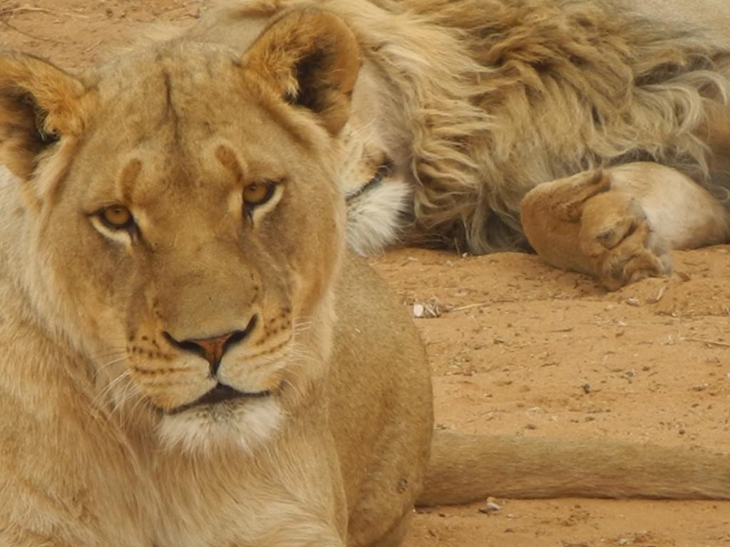 LionessSlider