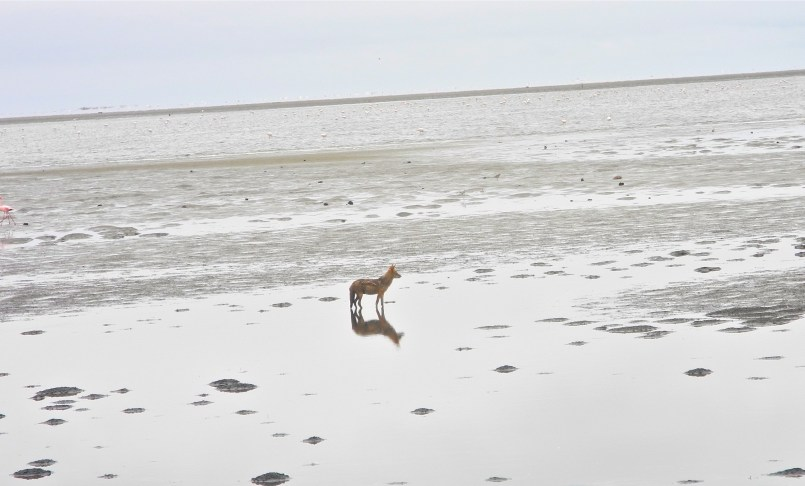 desert and ocean meet - we spot a jackal who traveled a great distance from the desert to hunt for food on the beach - both jackals and hyenas regularly scavenge for food, such as dead seals. This is a mood image of a solitary life