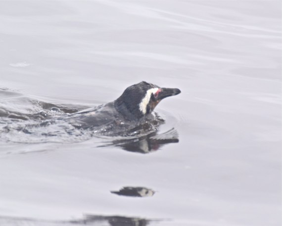 a penguin swims by, on a fishing mission