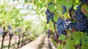 produzione del vino