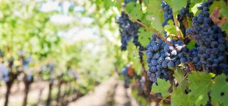 Le caratteristiche del frutto della vite, l'uva