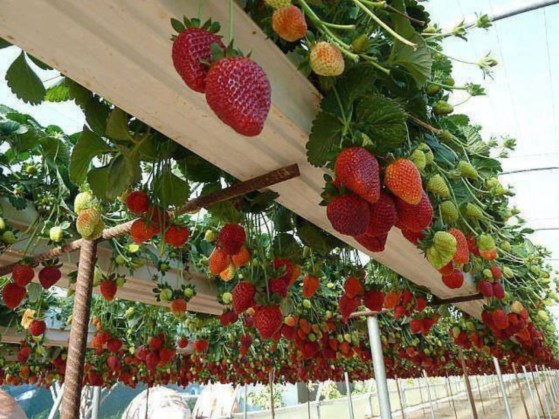 Creative ways to grow strawberry at your garden 28