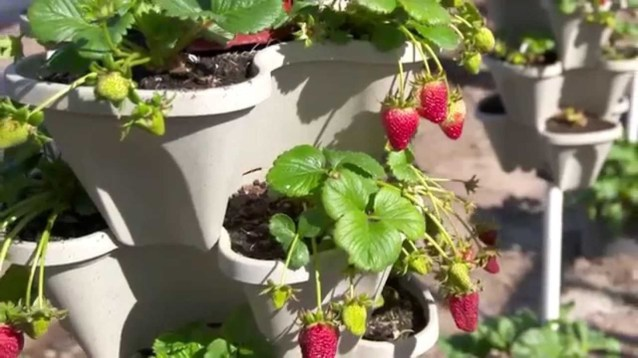 Creative ways to grow strawberry at your garden 35