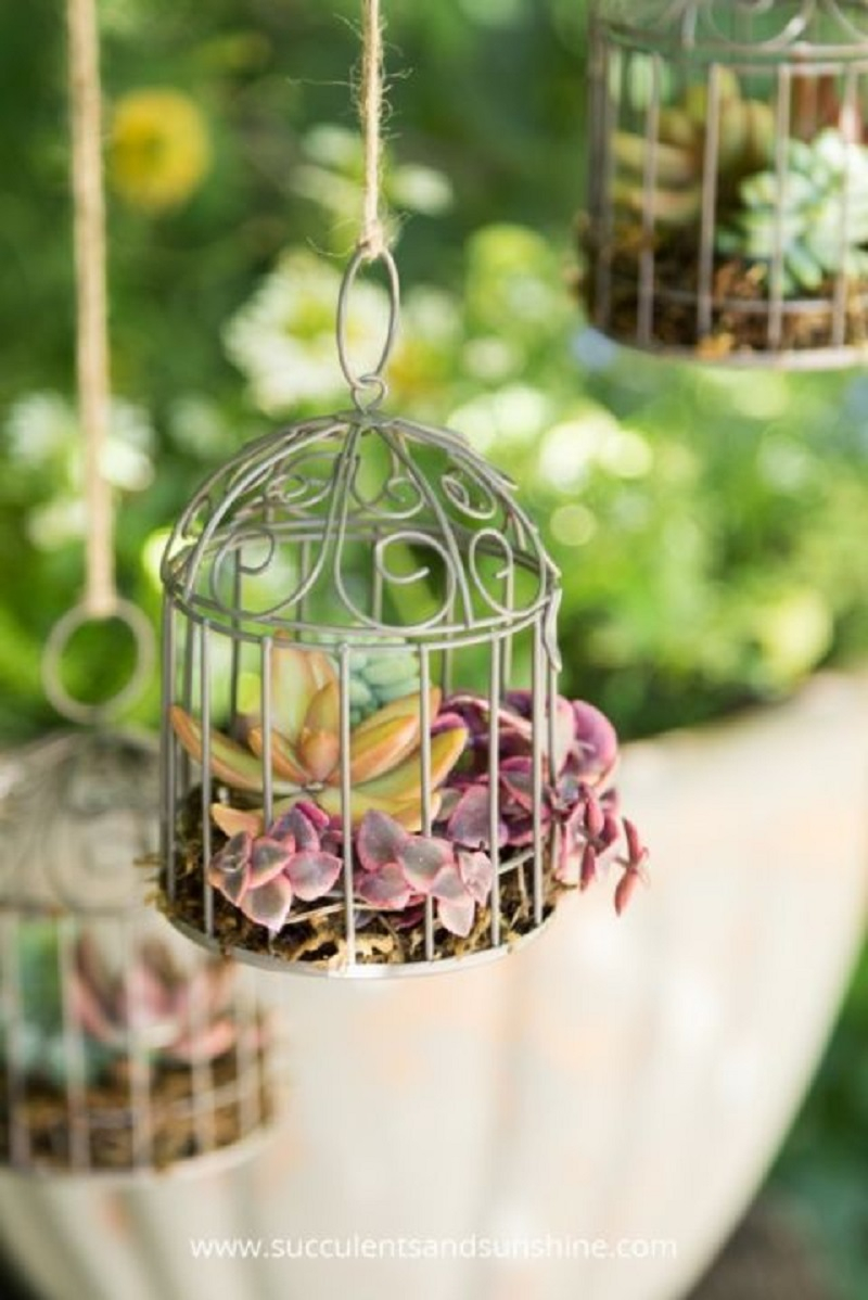 Bird-cage succulents