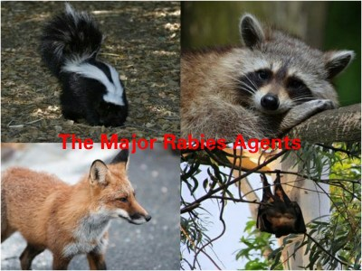 Dog myths & superstitions debunked by presenting the top Rabies reservoirs- a skunk, raccoon, fox and bat.