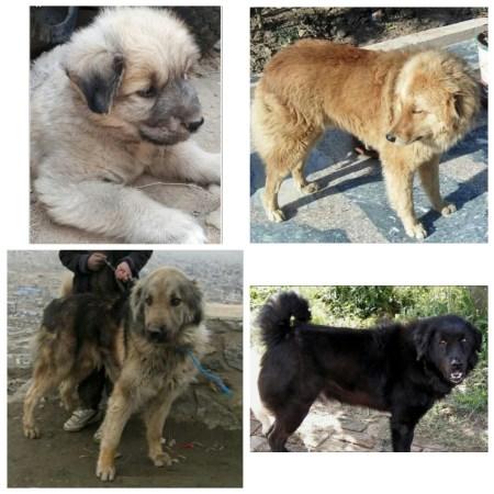 Rare & endangered Indian dog breed- The Bakharwal Dog