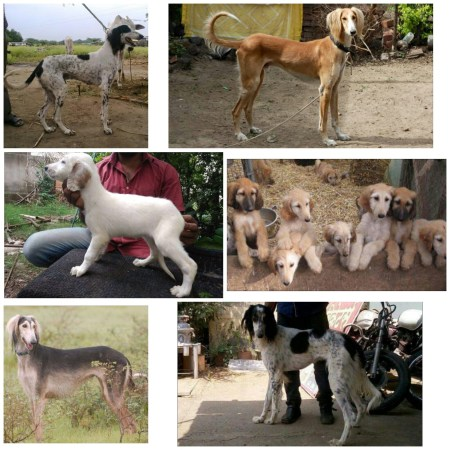 Rare & endangered Indian dog breed- The Pashmi Hound