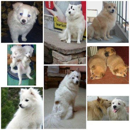 The Indian Spitz
