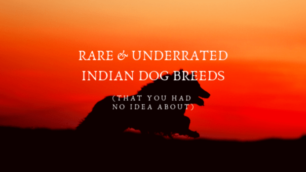 Rare & underrated Indian dog breeds- godlydogs.com